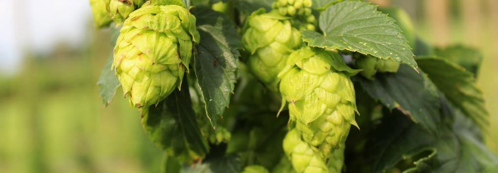 A picture of unharvested hops