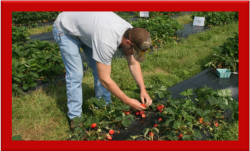 Man picking strawberries