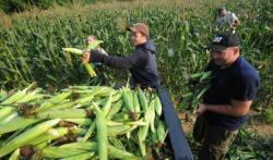 People picking corn