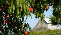 Picture of barn and peach tree